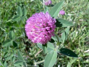 backyard clover 9/09